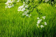 Белая бугинвилия около поля риса, Umalas, остров Бали, Индонезия Стоковые Изображения