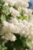 Белая ветвь цветка сирени на зеленой предпосылке стоковое изображение