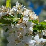 Белая вишня в цветени Стоковые Фото