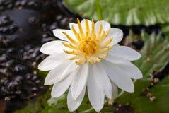 Белая вода liliy Стоковые Изображения