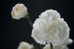 Белая гвоздика Стоковое Изображение RF