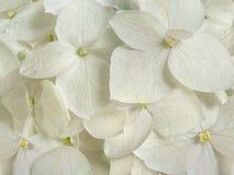 Белая гортензия цветет романтичная флористическая предпосылка Стоковая Фотография