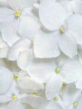 Белая гортензия цветет романтичная флористическая предпосылка Стоковое Изображение