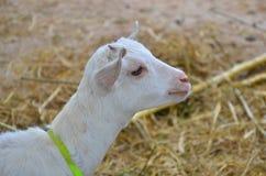 Белая голова козы Стоковые Изображения RF