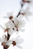 Белая груша цветет крупный план на белой предпосылке стоковые изображения rf