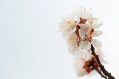 Белая груша цветет крупный план на белой предпосылке Стоковые Изображения