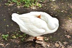 Белая гусыня очищая его пер Стоковая Фотография