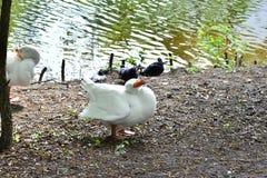 Белая гусыня очищая его пер Стоковые Фото