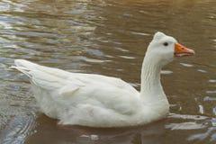 Белая гусыня Стоковые Фото