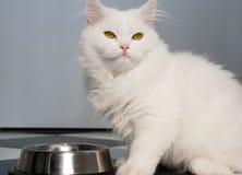 Белая еда персидского кота Стоковые Фото