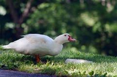 Белая еда утки Стоковая Фотография RF