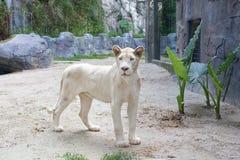 Белая женщина льва стоковое изображение