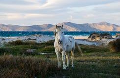 Белая дикая лошадь Стоковое Изображение