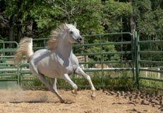 Белая дикая лошадь Стоковое Изображение RF