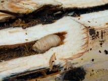 Белая личинка стоковое фото