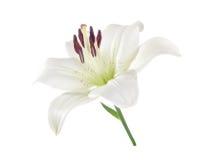 Белая лилия изолированная на белизне стоковые фотографии rf