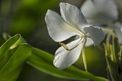 Белая лилия имбиря бабочки Стоковая Фотография RF