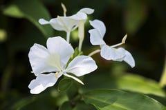 Белая лилия имбиря, известная для своего дух Стоковые Изображения
