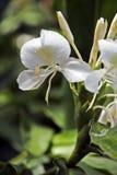 Белая лилия имбиря, известное fower для своего дух Стоковые Изображения