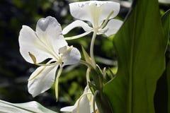 Белая лилия имбиря на темной предпосылке леса Стоковая Фотография RF