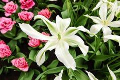 Белая лилия, красные тюльпаны, зеленая листва, keukenhof Стоковое Фото