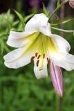 Белая лилия угощает крупный план Стоковая Фотография RF