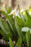 Белая лилия форели Стоковое Изображение