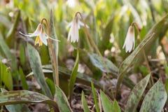 Белая лилия форели Стоковые Изображения