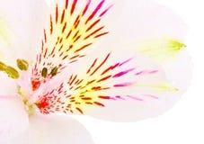 Белая лилия Стоковые Изображения RF