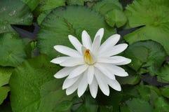 Белая лилия Стоковое Изображение