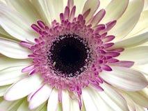 Белая и розовая маргаритка gerbera Стоковая Фотография
