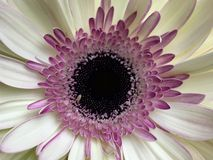 Белая и розовая маргаритка gerbera Стоковые Изображения