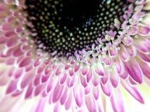 Белая и розовая маргаритка gerbera Стоковые Фото
