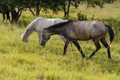 Белая и серая лошадь Стоковые Изображения