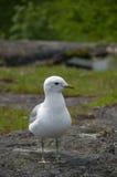 Белая и серая чайка на камне гранита Стоковые Изображения