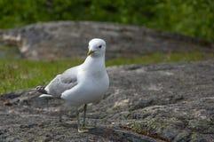 Белая и серая чайка на камне гранита Стоковое Фото