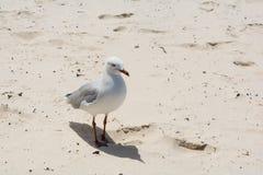 Белая и серая чайка стоит дальше Стоковые Изображения