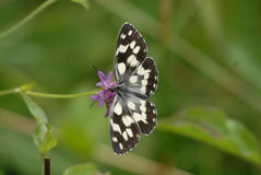 Белая и черная бабочка Стоковая Фотография