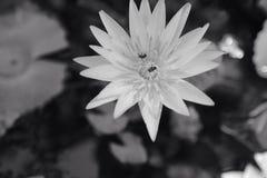 Белая и черная лилия воды Стоковые Изображения