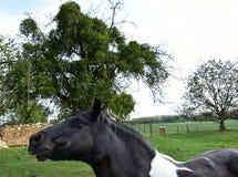 Белая и черная лошадь приходя к мне конец Портрет Стоковое Изображение