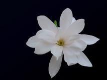 Белая камелия Стоковая Фотография RF