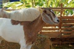 Белая коза в paddock Стоковые Фото