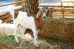 Белая коза в paddock Стоковые Фотографии RF