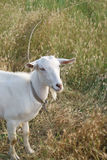 Белая коза в Rye стоковое фото rf
