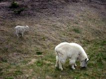 Белая коза горы с ребенк Стоковое Изображение RF