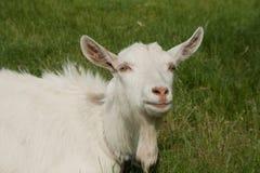 Белая коза лежит в зеленой траве Стоковые Изображения