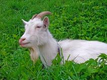 Белая коза лежит в траве на луге Стоковое фото RF