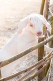 Белая коза младенца играя с бамбуковой загородкой, концом вверх белых коз в ферме Стоковая Фотография RF