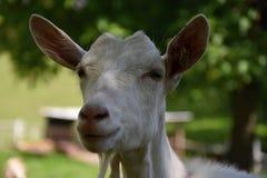 Белая коза на выгоне, голове детали Стоковые Изображения RF