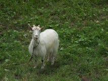 Белая коза на зеленой траве усмехаясь на камере Стоковое Изображение RF